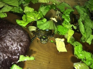 Red Bellied turtle at STEM 3
